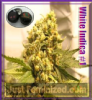 White Indica #1 Single Seeds 50% OFF
